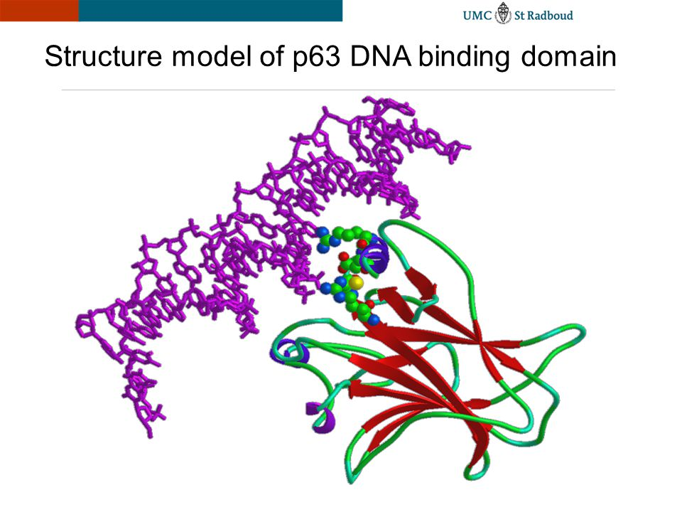 Structure model of p63 DNA binding domain