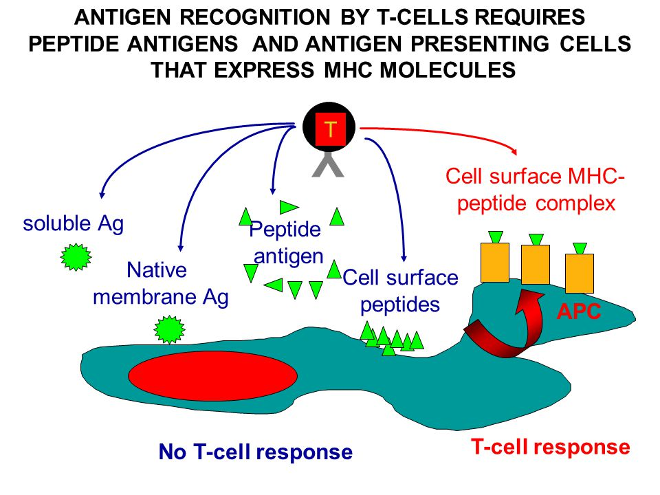 Y ANTIGEN RECOGNITION BY T-CELLS REQUIRES