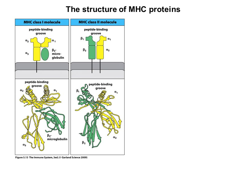 The structure of MHC proteins