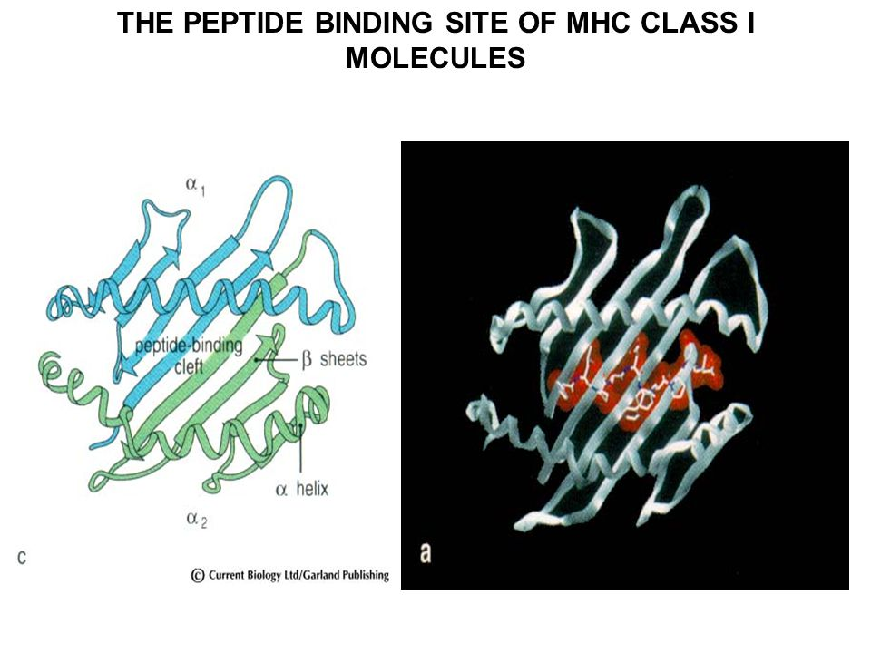 THE PEPTIDE BINDING SITE OF MHC CLASS I MOLECULES