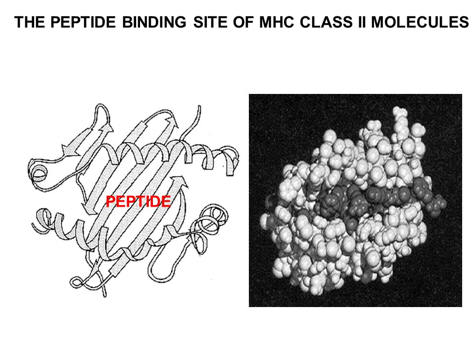THE PEPTIDE BINDING SITE OF MHC CLASS II MOLECULES