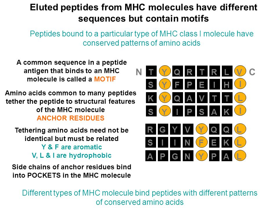Eluted peptides from MHC molecules have different sequences but contain motifs