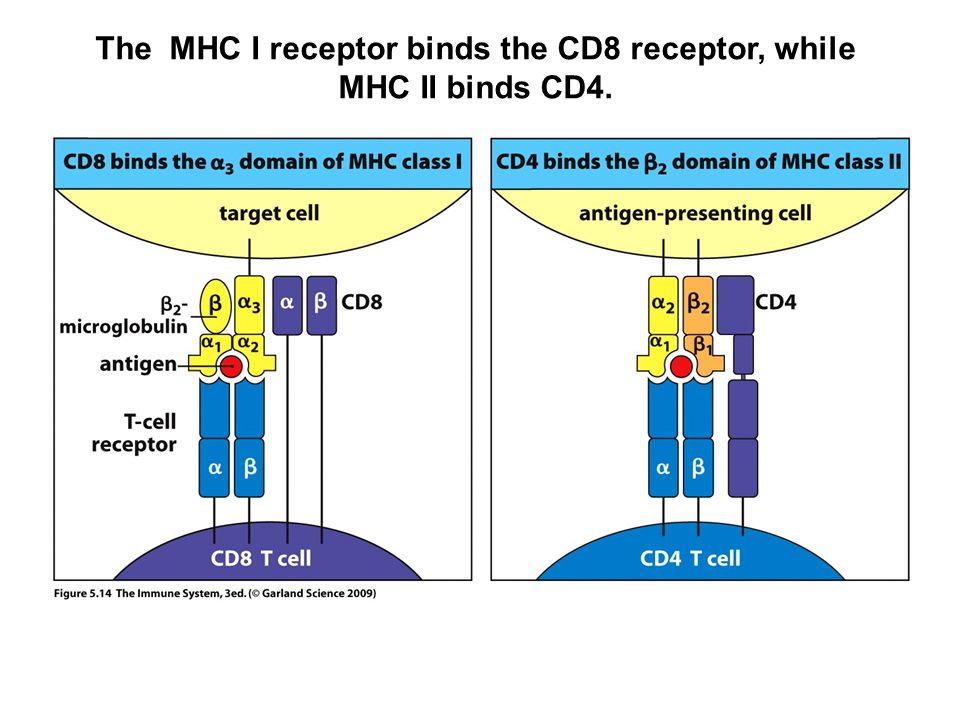 The MHC I receptor binds the CD8 receptor, while