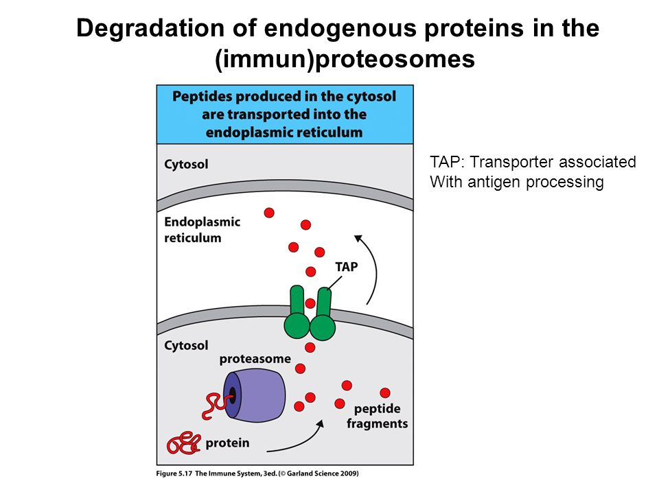 Degradation of endogenous proteins in the