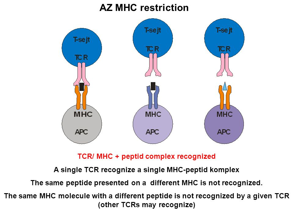 AZ MHC restriction TCR/ MHC + peptid complex recognized