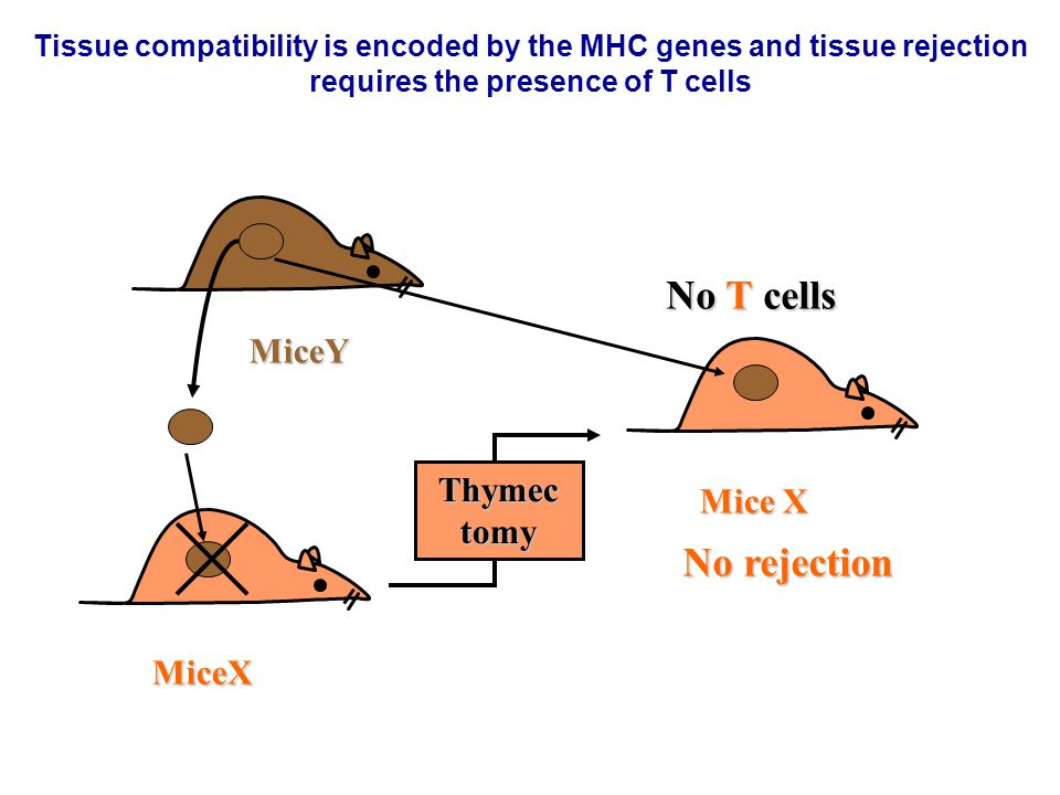 No T cells No rejection MiceY Thymectomy Mice X MiceX