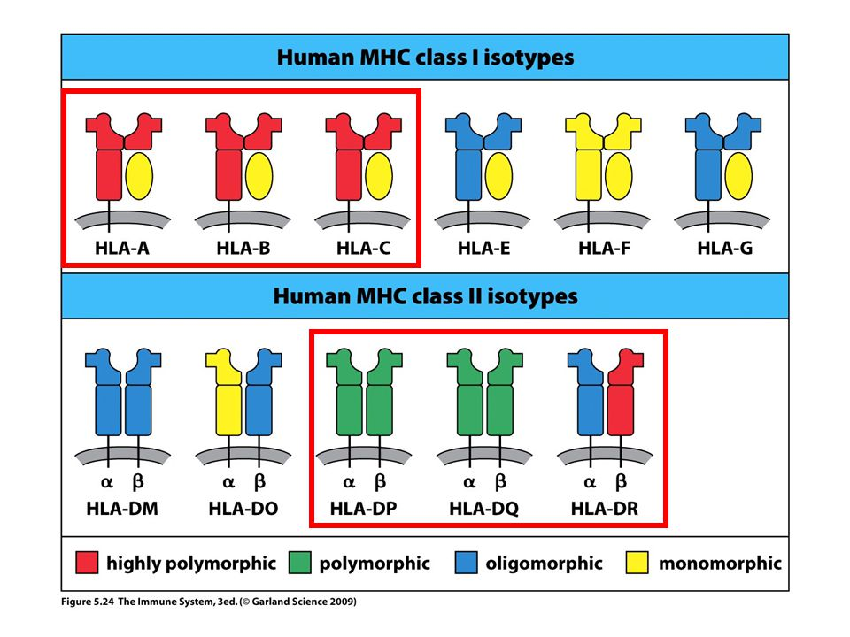 Of the human MHC class I isotypes, HLA-A, HLA-B, and HLA-C are highly polymorphic.