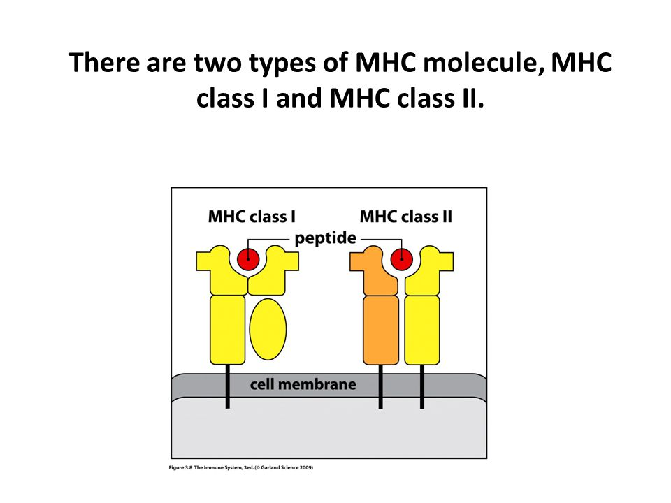 There are two types of MHC molecule, MHC class I and MHC class II.
