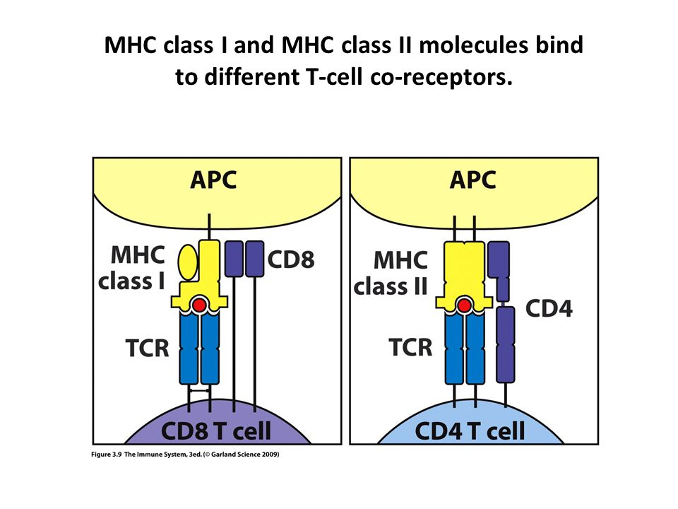 MHC class I and MHC class II molecules bind to different T-cell co-receptors.