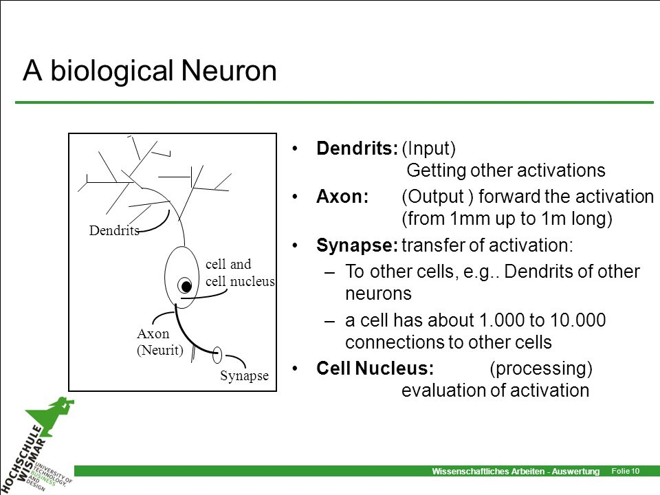 A biological Neuron Dendrits: (Input) Getting other activations