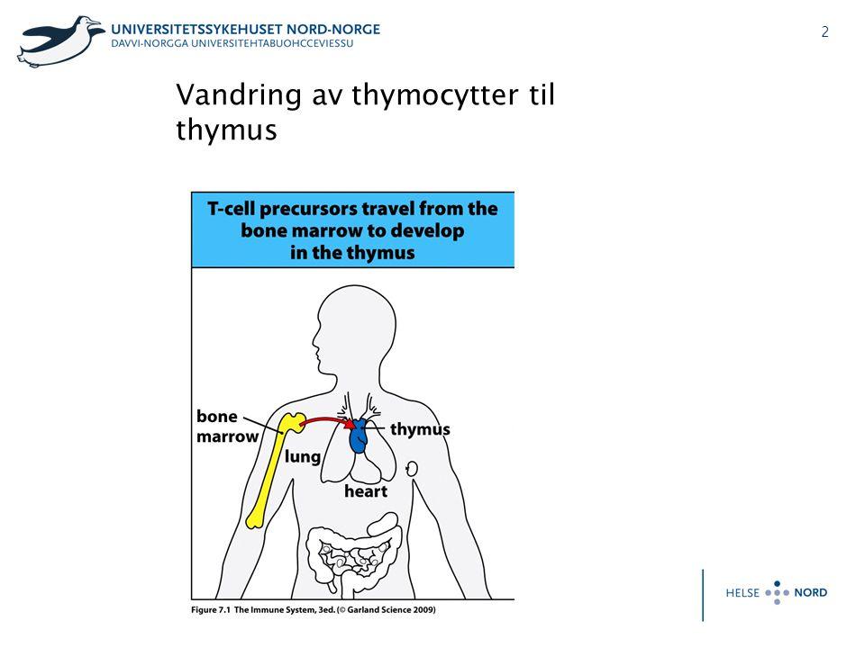 Vandring av thymocytter til thymus