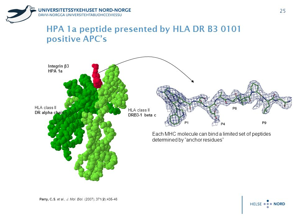 HPA 1a peptide presented by HLA DR B3 0101 positive APC's