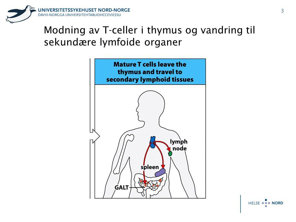 Modning av T-celler i thymus og vandring til sekundære lymfoide organer