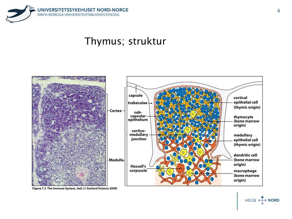 Thymus; struktur