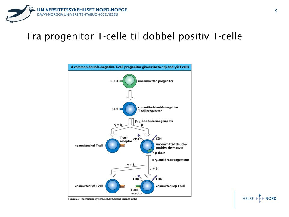 Fra progenitor T-celle til dobbel positiv T-celle