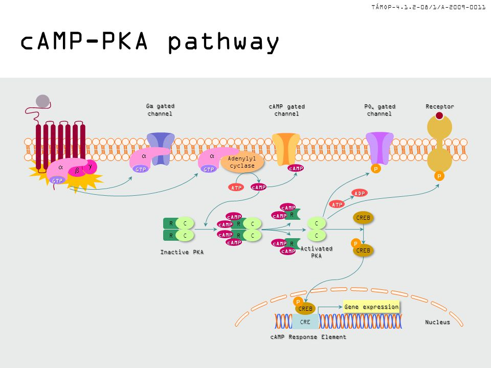 cAMP-PKA pathway a a g b a P P P Gα gated channel cAMP gated channel
