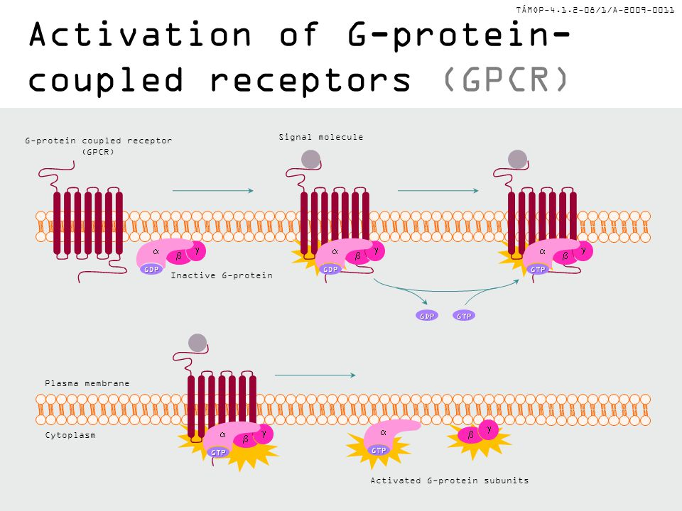 Activation of G-protein-coupled receptors (GPCR)
