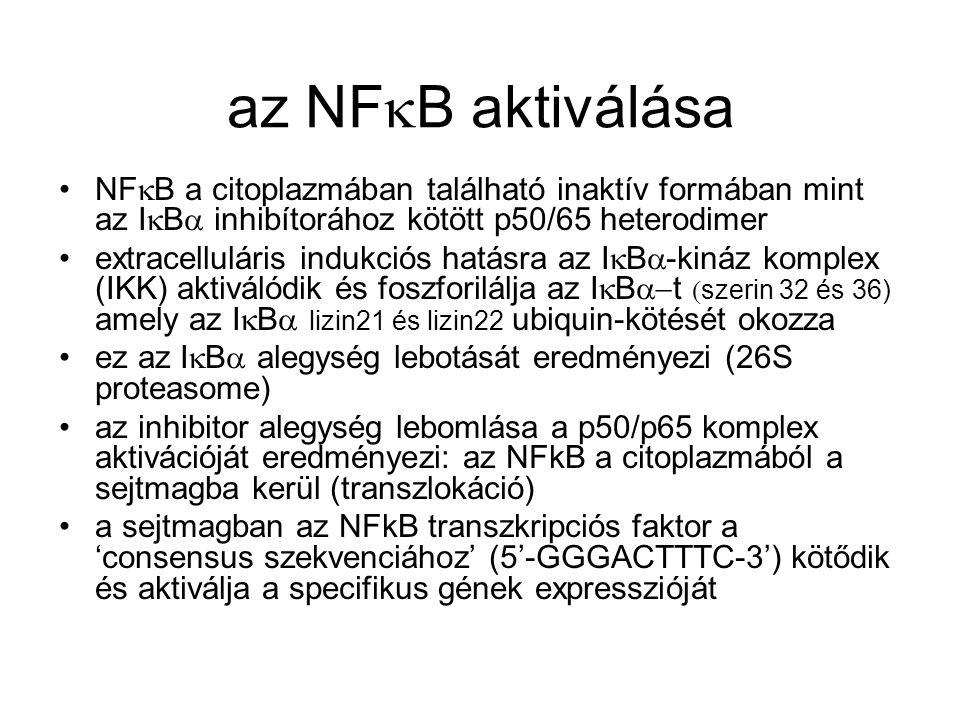 az NFkB aktiválása NFkB a citoplazmában található inaktív formában mint az IkBa inhibítorához kötött p50/65 heterodimer.