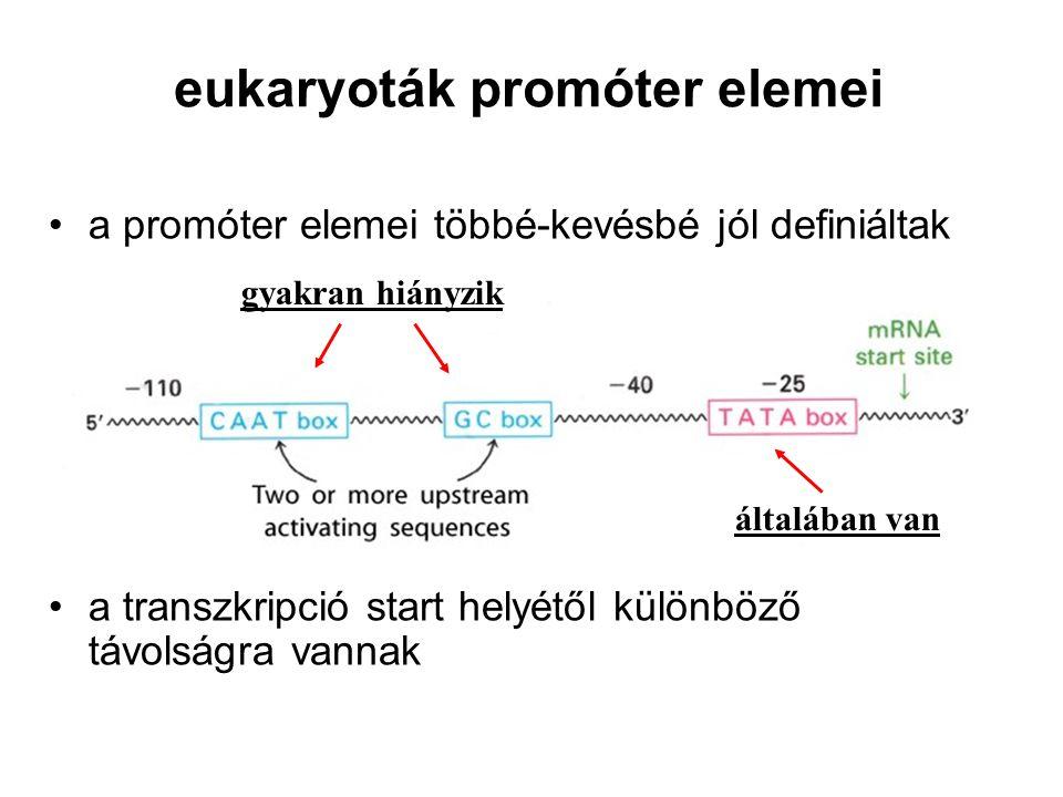eukaryoták promóter elemei