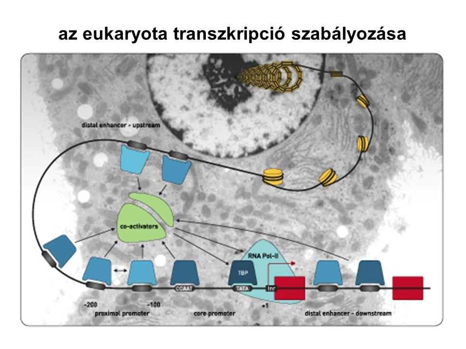 az eukaryota transzkripció szabályozása