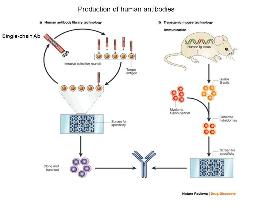 Production of human antibodies