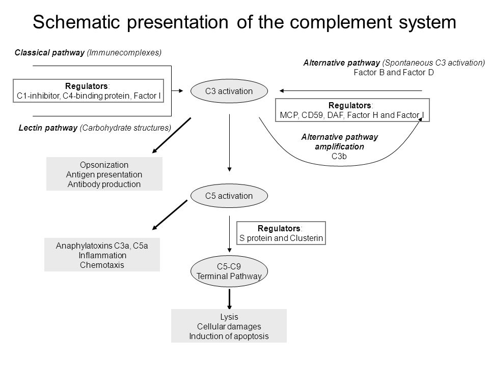 Schematic presentation of the complement system