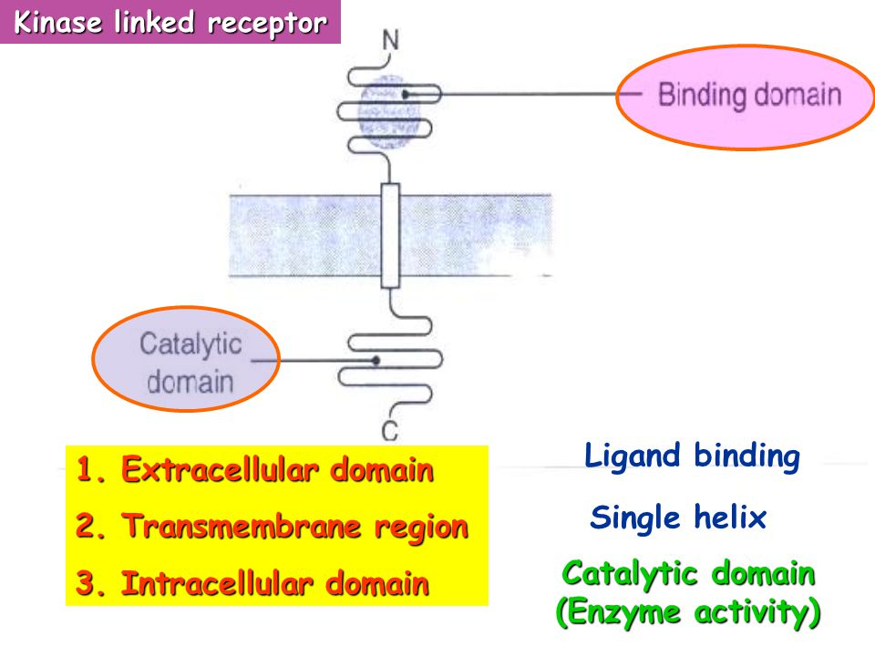 Kinase linked receptor Catalytic domain (Enzyme activity)