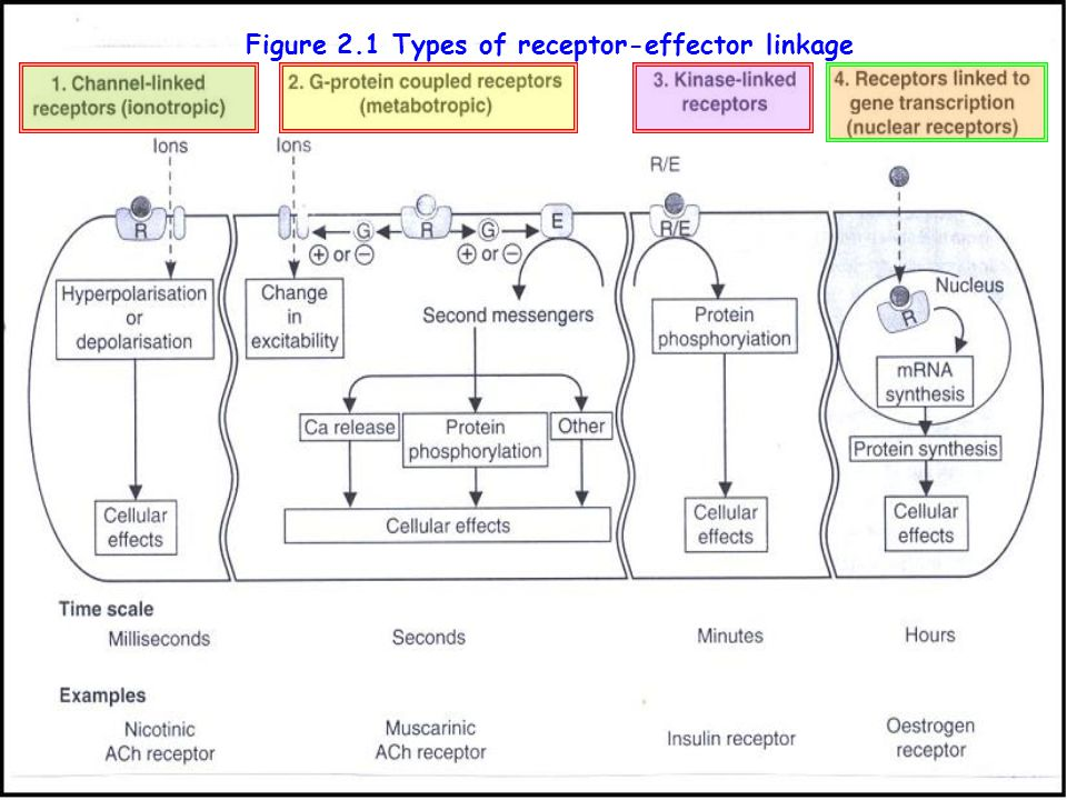 Figure 2.1 Types of receptor-effector linkage