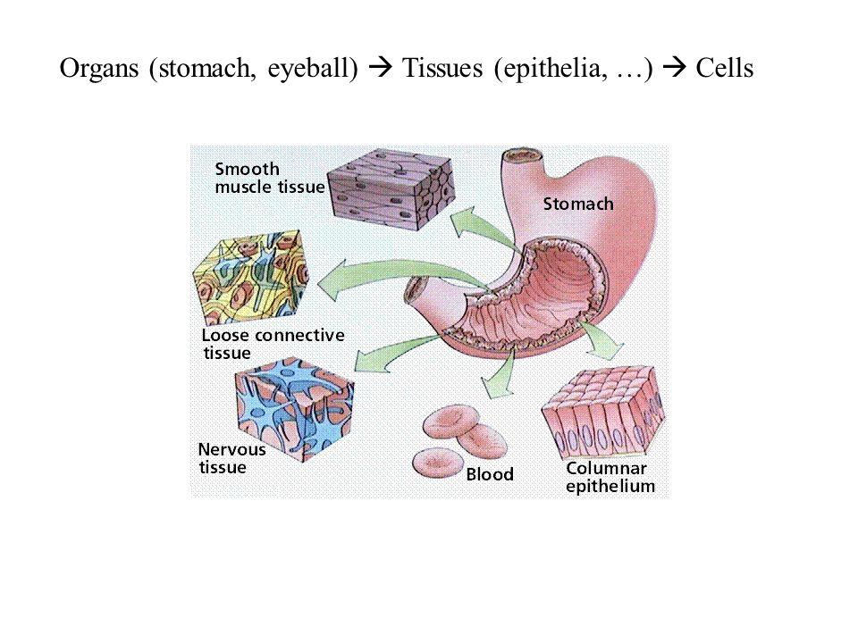 Organs (stomach, eyeball)  Tissues (epithelia, …)  Cells
