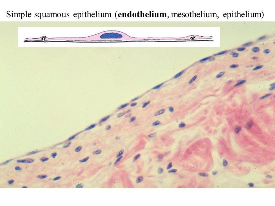 Simple squamous epithelium (endothelium, mesothelium, epithelium)