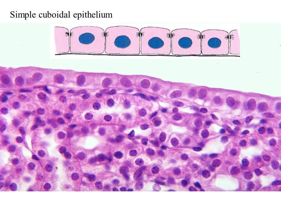 Simple cuboidal epithelium