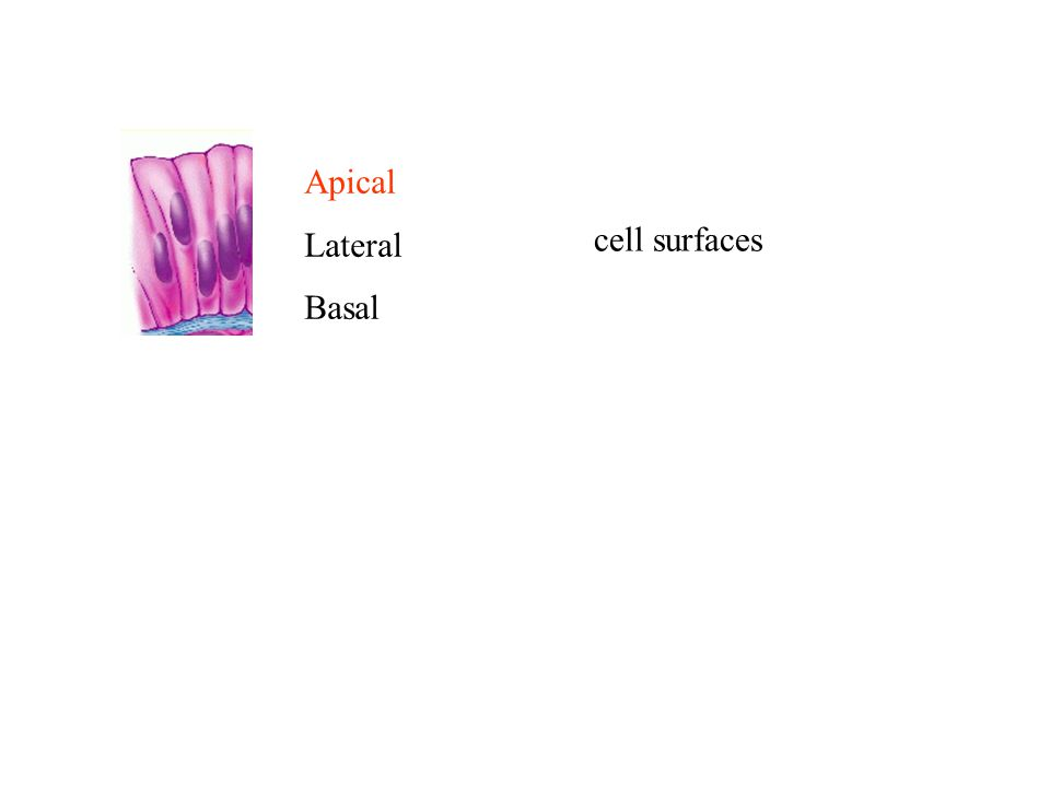 Apical Lateral Basal cell surfaces