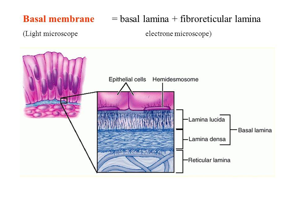 Basal membrane = basal lamina + fibroreticular lamina