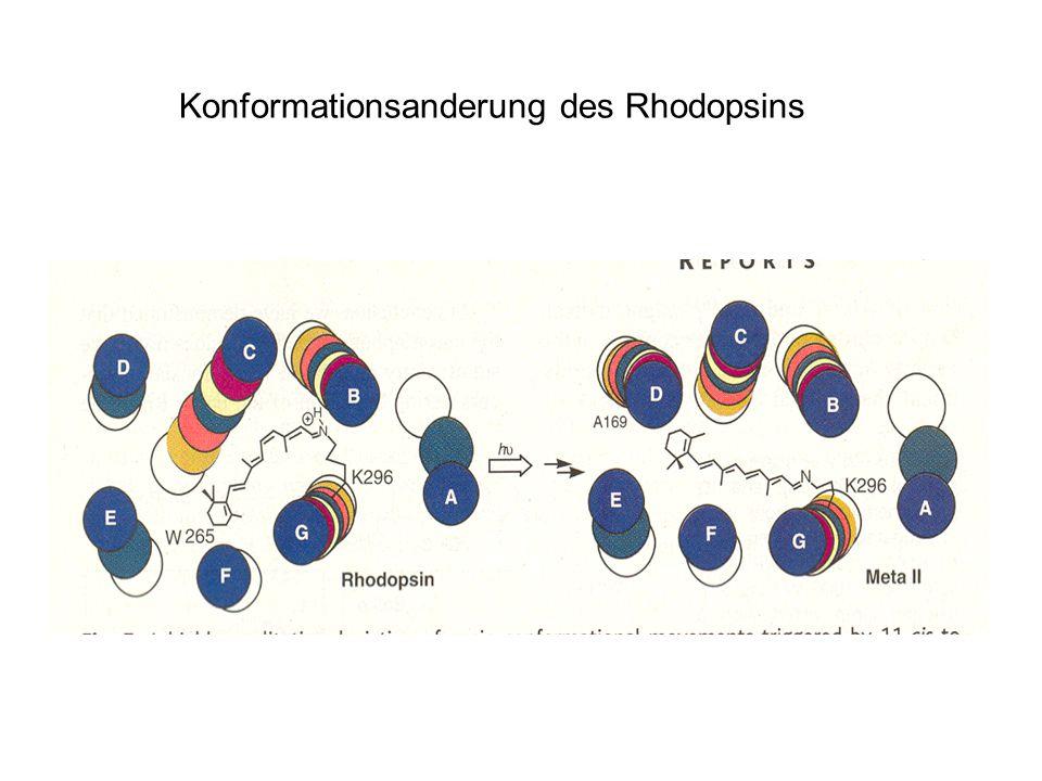 Konformationsanderung des Rhodopsins