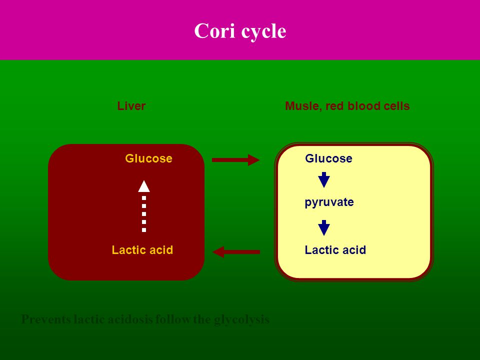 Cori cycle Prevents lactic acidosis follow the glycolysis Liver