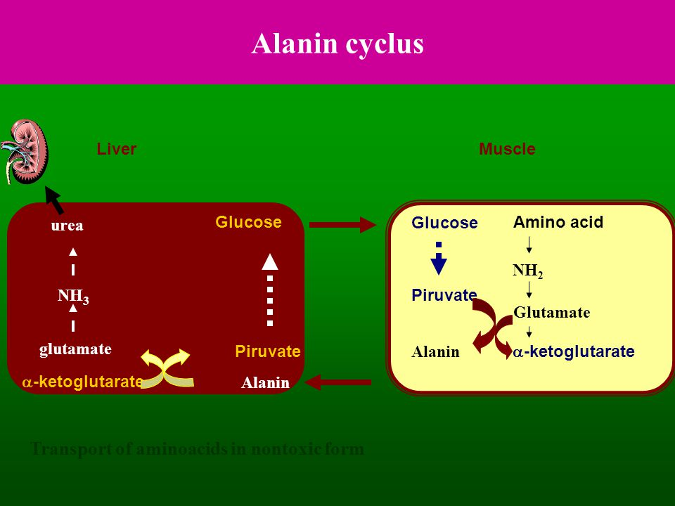 Alanin cyclus Transport of aminoacids in nontoxic form Liver Muscle
