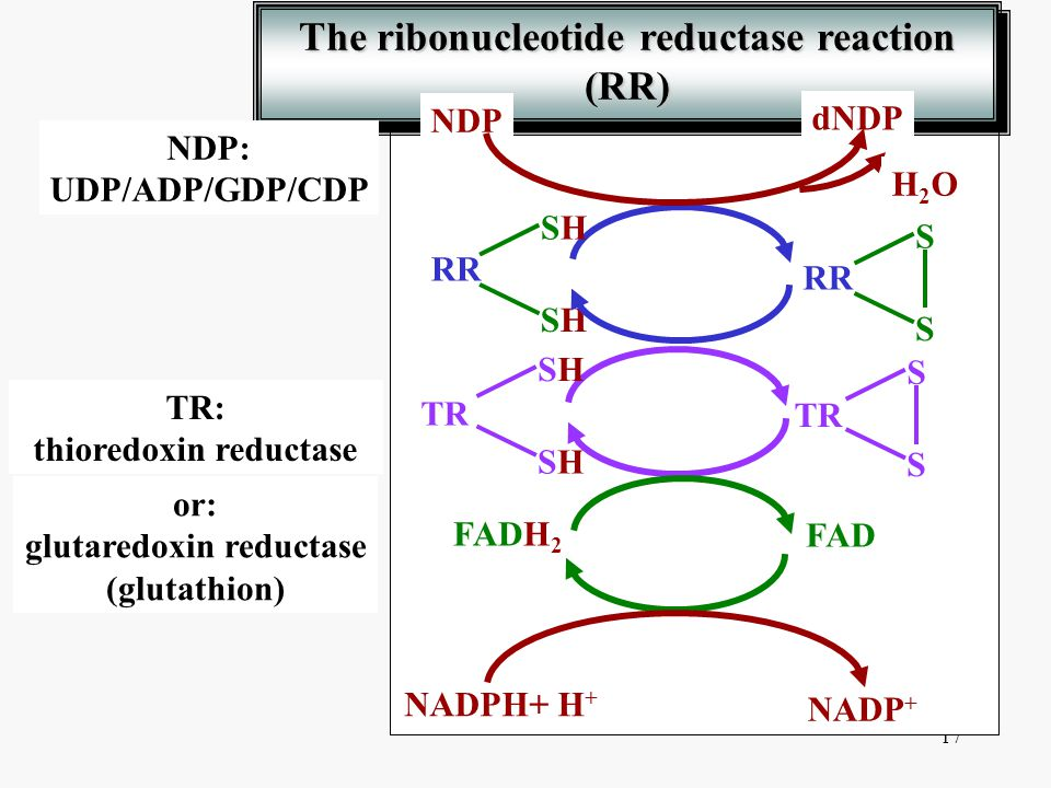 The ribonucleotide reductase reaction (RR)