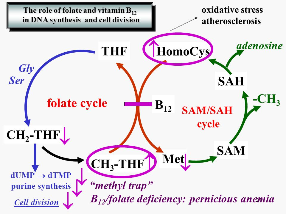 The role of folate and vitamin B12 in DNA synthesis and cell division