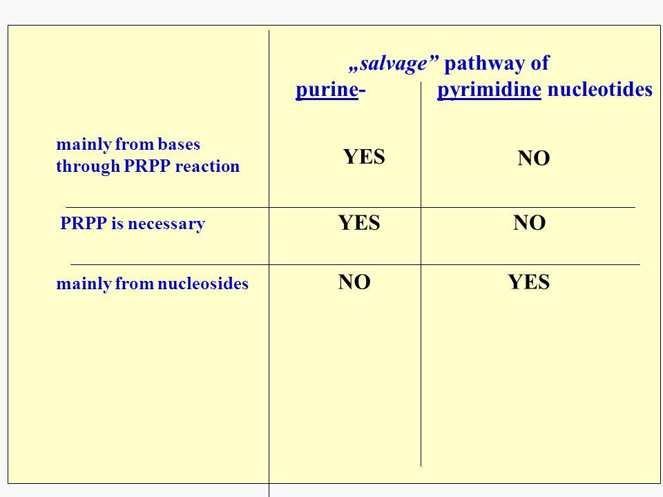 purine- pyrimidine nucleotides