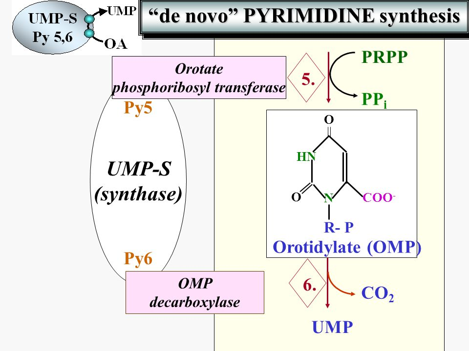 de novo PYRIMIDINE synthesis phosphoribosyl transferase
