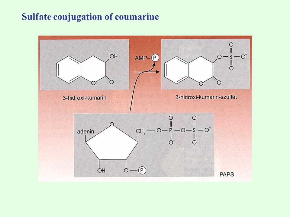 Sulfate conjugation of coumarine