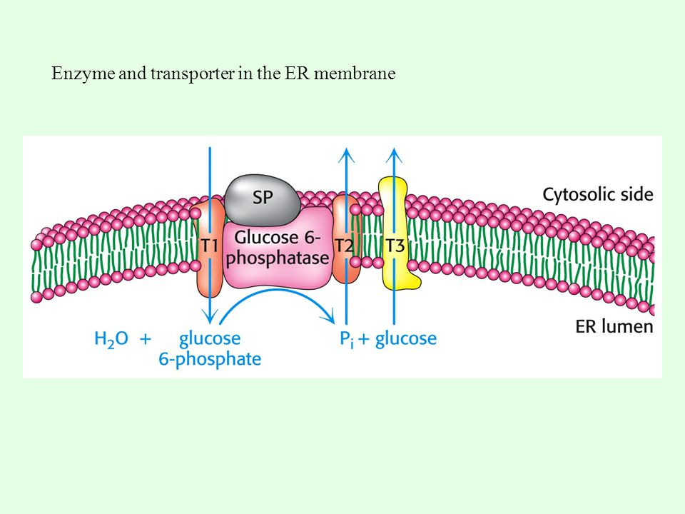 Enzyme and transporter in the ER membrane