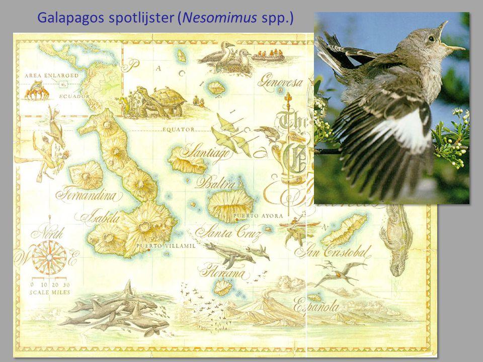 Galapagos spotlijster (Nesomimus spp.)
