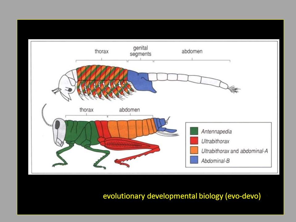 evolutionary developmental biology (evo-devo)