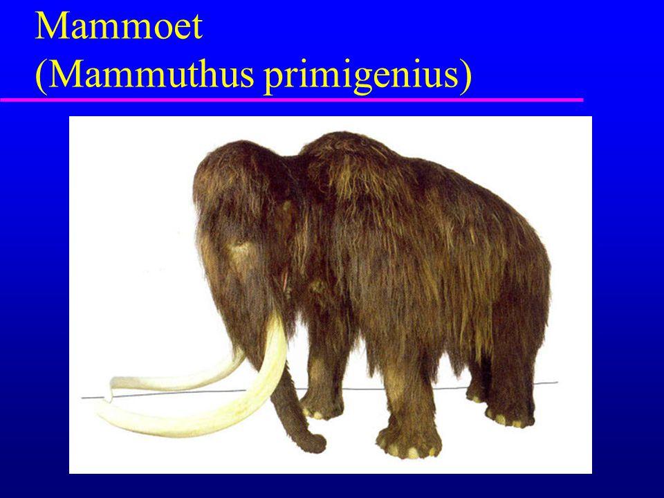 Mammoet (Mammuthus primigenius)