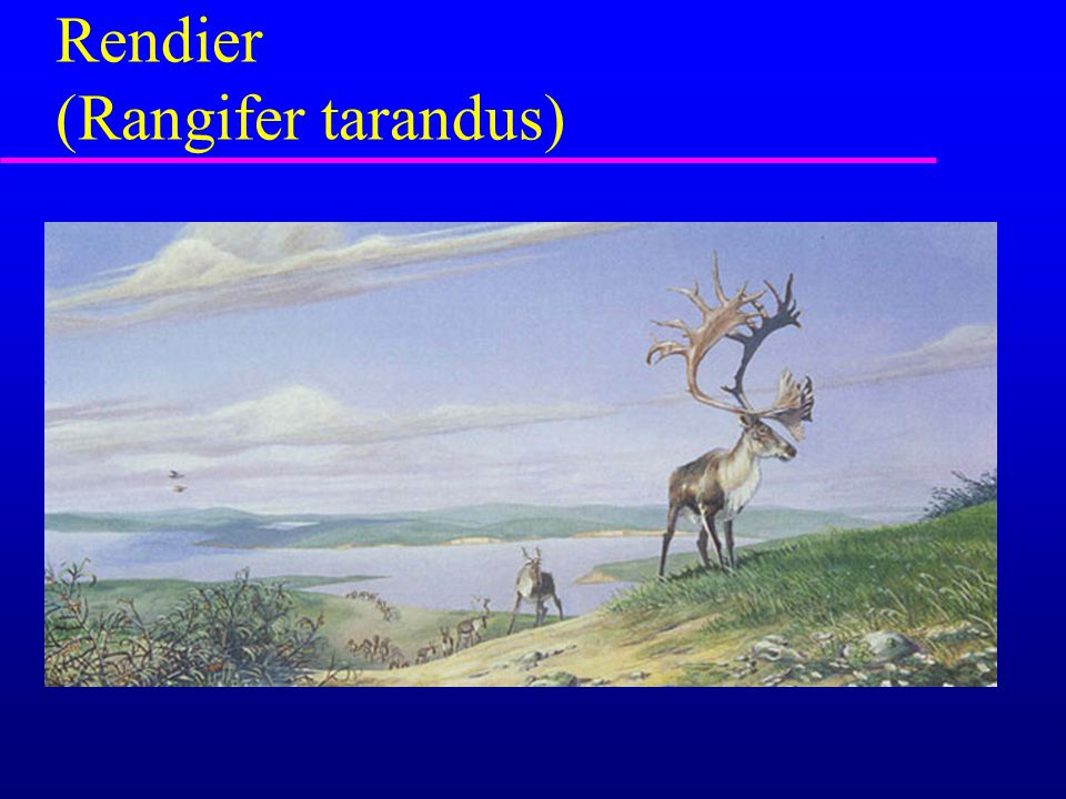 Rendier (Rangifer tarandus)