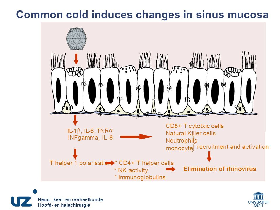 Common cold induces changes in sinus mucosa