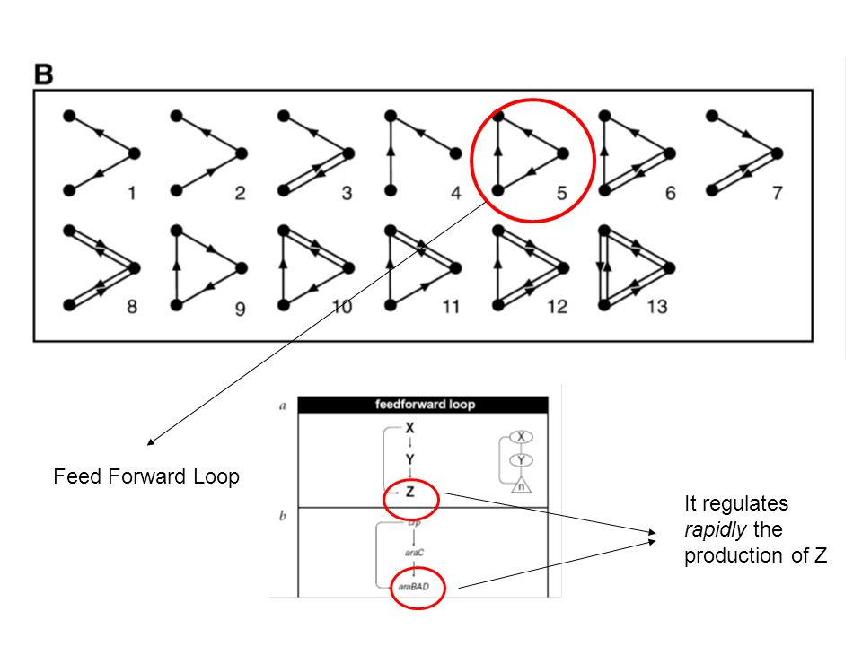 Feed Forward Loop It regulates rapidly the production of Z