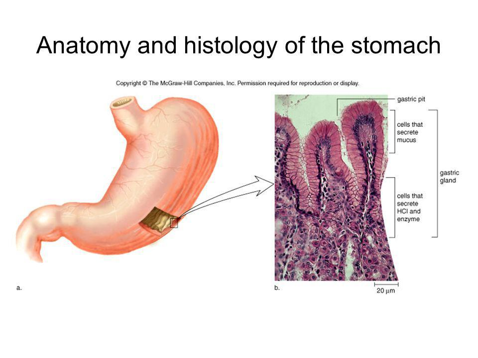 Anatomy and histology of the stomach