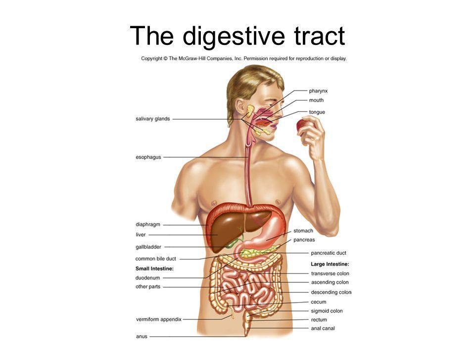 The digestive tract